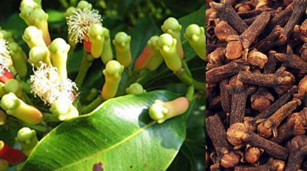 Lavang (Syzygium aromaticum)